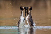 Great Crested Grebe Courtship Weed Dance