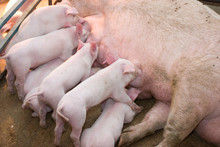 Newborn Piglets Feeding From Mother Pig In The Farm. .Suckling Piglets Suckling A Sow Farm.