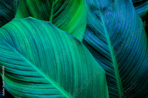 leaves of Spathiphyllum cannifolium, abstract green texture, nature background, tropical leaf #314434188