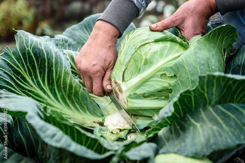 Obraz Female hands that harvest a cabbage growing in the garden. - fototapety do salonu