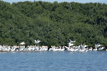 Flock Of White Pelicans Resting On A Sand Bar