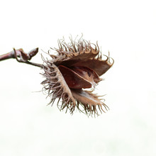 Beech Tree Nut Fagus Sylvatica...