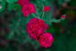 canvas print picture - rosas rojas