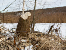 Stumps And Branches Of Willow, The Work Of Beavers. Beavers Gnawed Trees. Beaver-felled Trees.