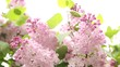 beautiful lilac after rain,pink lilacs bloomed in early spring,open lilacs