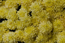 Abstract Background Of Chrysan...