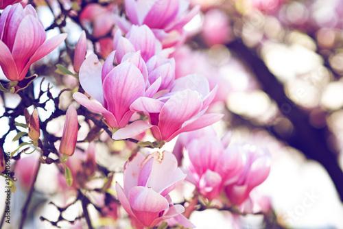 boccioli di magnolie in fiore con colori pastello nei toni del rosa