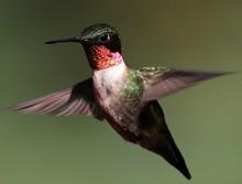 Male Hummingbird In Flight