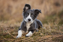 Grey And White Border Collie P...