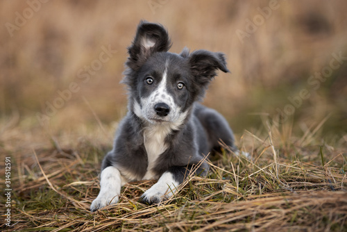 Tela grey and white border collie puppy lying outdoors
