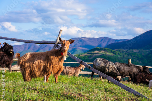 Photo herd of goats on the alpine meadow in spring