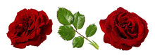 Fresh Beautiful Roses With Dewdrops Isolated On White Background With Clipping Path