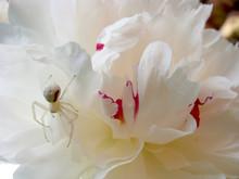Crab Spider On White Peony Flo...
