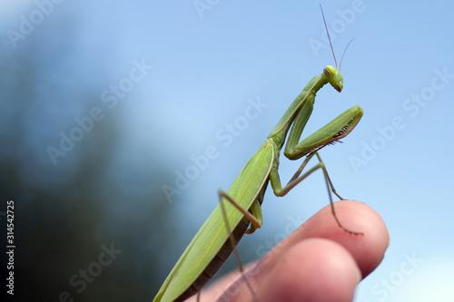 Obraz na plátně  Close up shot of a Praying Mantis in a human hand