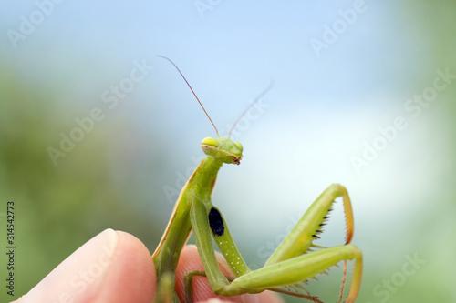 Fotografie, Obraz  Close up shot of a Praying Mantis in a human hand