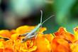 Green grasshopper sitting on flower petals