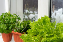 Growing Lettuce At Home In A P...