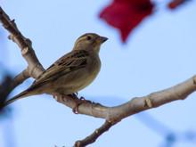 Sparrow Asian Bird On Fruit Tr...