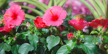 Red Color Swamp Hibiscus (rose...