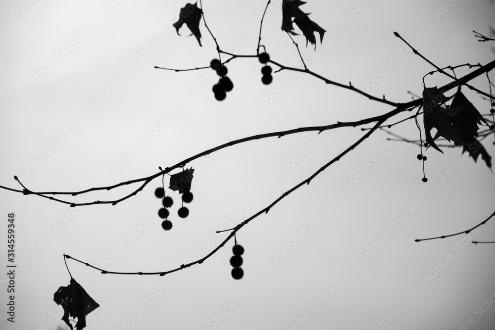 Fototapeta 白黒の枝