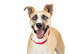 Joyful Mixed Breed Large Dog Happy Expression