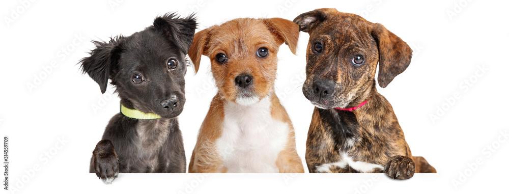 Fototapeta Three Cute Puppies Over White Web Banner