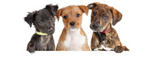 Three Cute Puppies Over White Web Banner