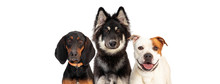 Three Large Dogs Web Banner Co...