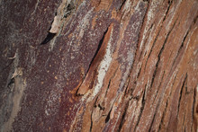 Close Up Of Trunk A Forman's E...
