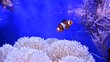canvas print picture - Clownfish, Amphiprioninae, in aquarium tank with reef as background.