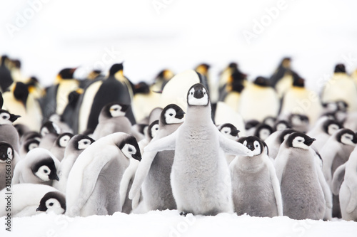 Obraz Emperor penguin colony adults and chicks on the sea ice, Snow Hill, Antractica - fototapety do salonu