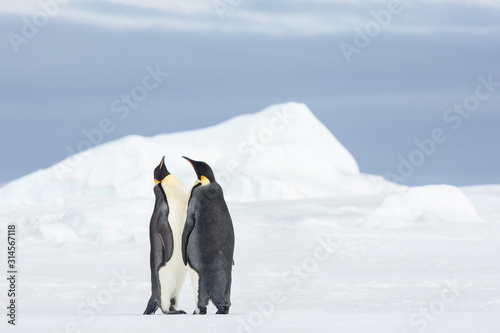 Photographie Emperor penguin colony adults and chicks on the sea ice, Snow Hill, Antractica