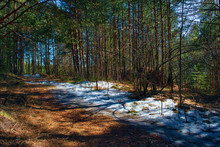 Spring Forest Landscape. Beautiful Scene On A Warm Sunny Spring Day In The Coniferous Forest.