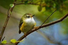 Acanthisitta Chloris - Rifleman - Titipounamu - Endemic Bird From New Zealand, Small Insectivorous Passerine Bird That Is Endemic To New Zealand, Belongs To The Family Acanthisittidae