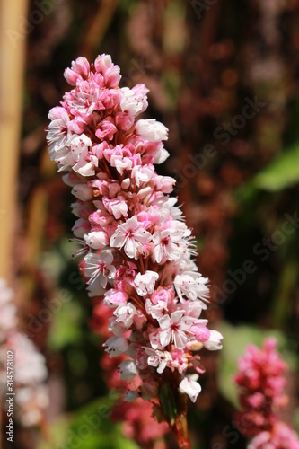 """Himalayan Bistort"" flower (or Fleece Flower, Knotweed) in St Canvas Print"