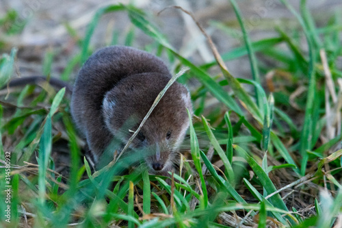Fotografie, Obraz water shrew in grass