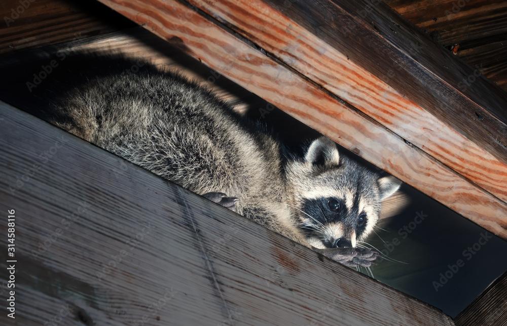 Fototapeta American raccoon climbed into the attic of a house
