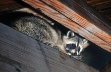 American Raccoon Climbed Into ...