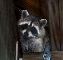 American Raccoon Entered The A...