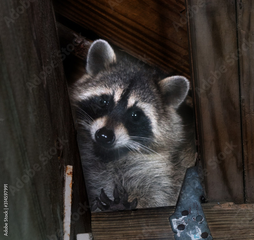 American raccoon entered the attic and looks down Wall mural