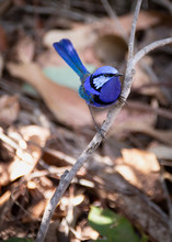 Male Splendid Fairy Wren In Full Blue Plumage 1
