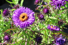 Closeup Of An Aster Flower In Full Bloom