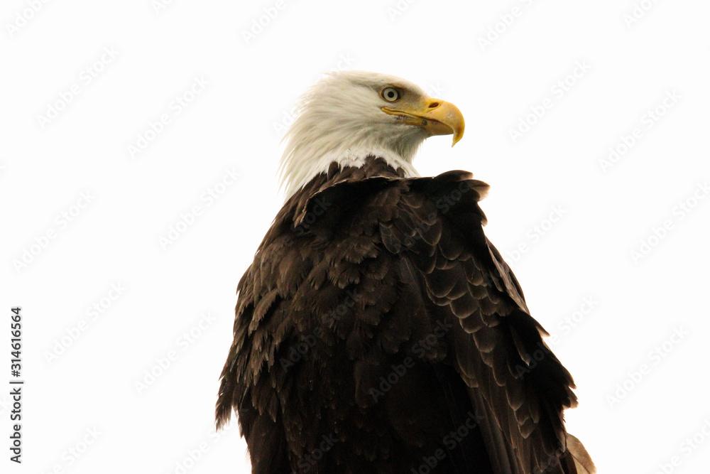 Fototapeta american bald eagle