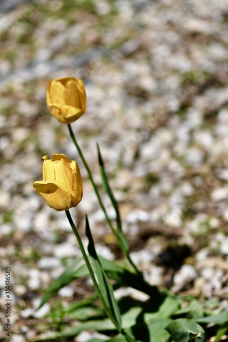Closeup of yellow Garden roses in a field surrounded by greenery with a blurry background