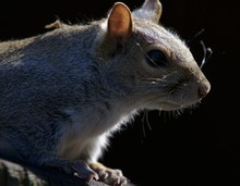 Closeup Of A White Fox Squirrel Standing On Wood Under Sunlight Against A Black Background