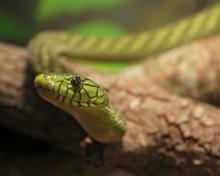 Closeup Of A Western Green Mam...