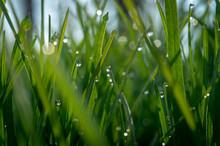 Green Grass And Drops Of Morni...