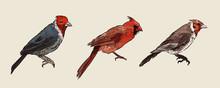 Set Of Cardinal Birds, Hand Dr...