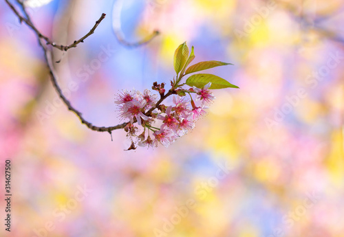 Sakura flowers blooming blossom