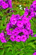 canvas print picture - Phlox paniculata, garden phlox flower, perennial phlox